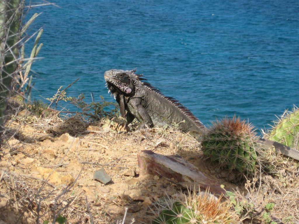 iguana rocciosa